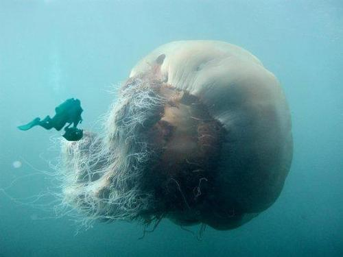 The Lions Mane Jellyfish