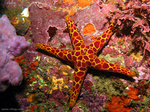 Mosaic Sea Star
