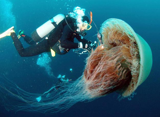 Nomura Jellyfish