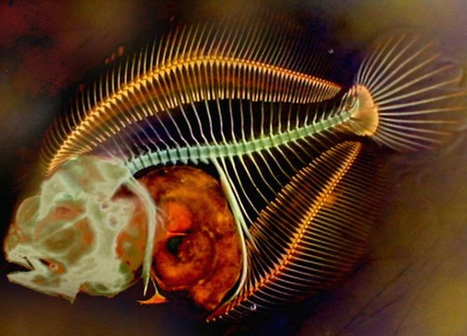 Turbot larvae